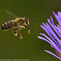 Buy canvas prints of Honey Bee in Flight by Philip Pound