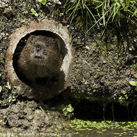 Buy canvas prints of Water Vole by Philip Pound