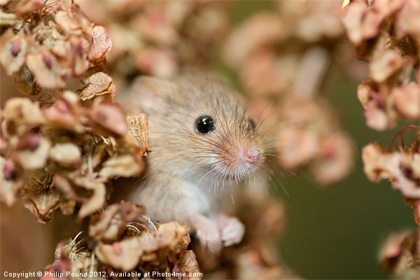 Harvest mouse in dry leaves Canvas print by Philip Pound