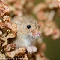 Buy canvas prints of Harvest mouse in dry leaves by Philip Pound