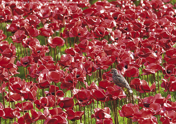 Starling and red poppies at the Tower of London Canvas print by Philip Pound