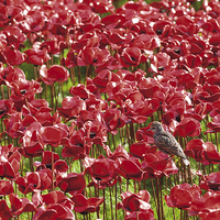 Buy canvas prints of  Starling and red poppies at the Tower of London by Philip Pound