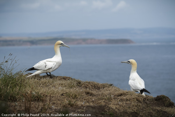 Two Gannets on Cliffs Canvas print by Philip Pound