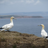 Buy canvas prints of Two Gannets on Cliffs by Philip Pound