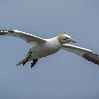 Buy canvas prints of Gannet in Flight by Philip Pound