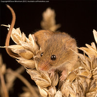 Buy canvas prints of Harvest Mouse by Dave Whenham