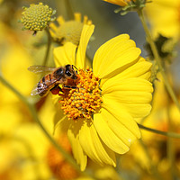 Buy canvas prints of Busy Bee by Debra Farrey