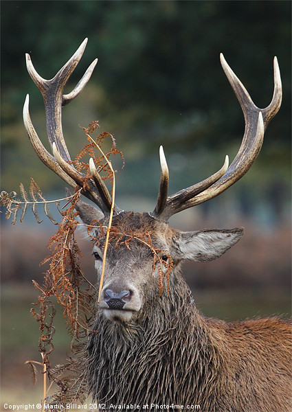 Stag in Bracken Canvas print by Martin Billard