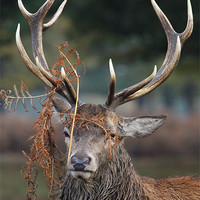 Buy canvas prints of Stag in Bracken by Martin Billard