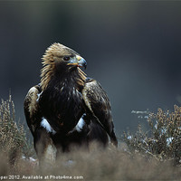 Buy canvas prints of GOLDEN EAGLE by Don Hooper