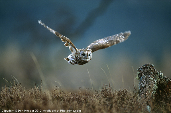 TAWNY OWL IN FLIGHT Canvas print by Don Hooper