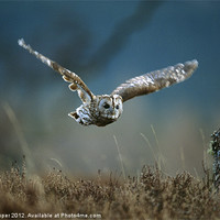Buy canvas prints of TAWNY OWL IN FLIGHT by Don Hooper