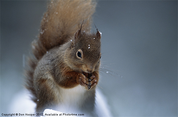 RED SQUIRREL PORTRAIT Canvas print by Don Hooper