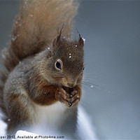 Buy canvas prints of RED SQUIRREL PORTRAIT by Don Hooper