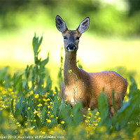 Buy canvas prints of Roe Deer by Don Hooper