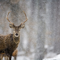 Buy canvas prints of Red Deer by Don Hooper