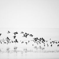Buy canvas prints of Oystercatchers by Don Hooper