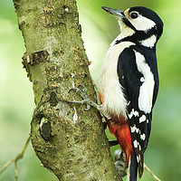 Buy canvas prints of Great Spotted Woodpecker by martin kemp