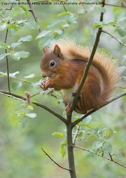 Red Squirrel  Canvas print by Martin Kemp Wildlife