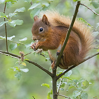 Buy canvas prints of Red Squirrel  by Martin Kemp Wildlife