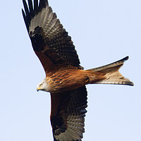 Buy canvas prints of Red Kite 1 by Martin Kemp Wildlife