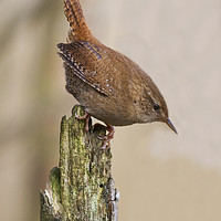 Buy canvas prints of Wren by Martin Kemp Wildlife