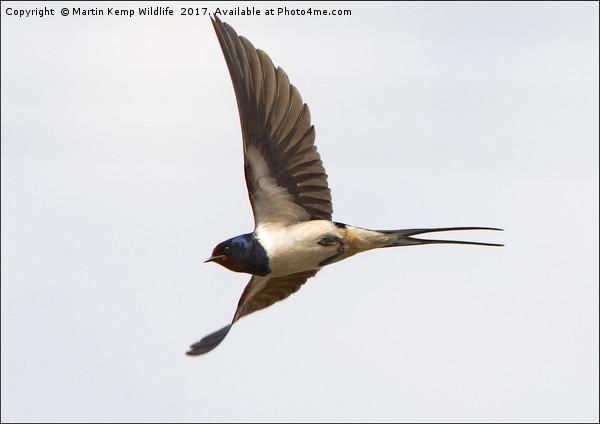 Swallow in Flight Canvas Print by Martin Kemp Wildlife