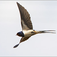 Buy canvas prints of Swallow in Flight by Martin Kemp Wildlife