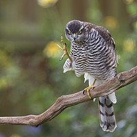 Buy canvas prints of Sparrowhawk Having a Scratch by Martin Kemp Wildlife