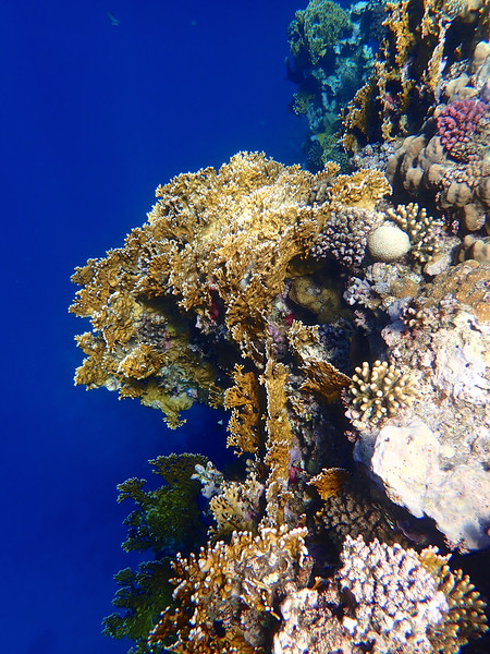 Red Sea Coral Framed Print by mark humpage