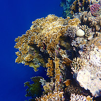 Buy canvas prints of Red Sea Coral by mark humpage