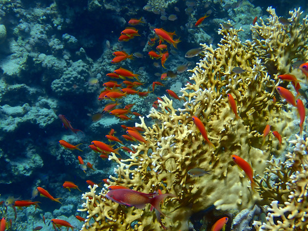 Red Sea Goldfish and Coral Print by mark humpage