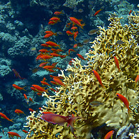Buy canvas prints of Red Sea Goldfish and Coral by mark humpage