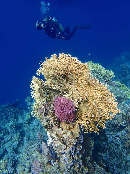 Diving through the Red Sea Coral Framed Print by mark humpage
