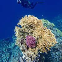 Buy canvas prints of Diving through the Red Sea Coral by mark humpage