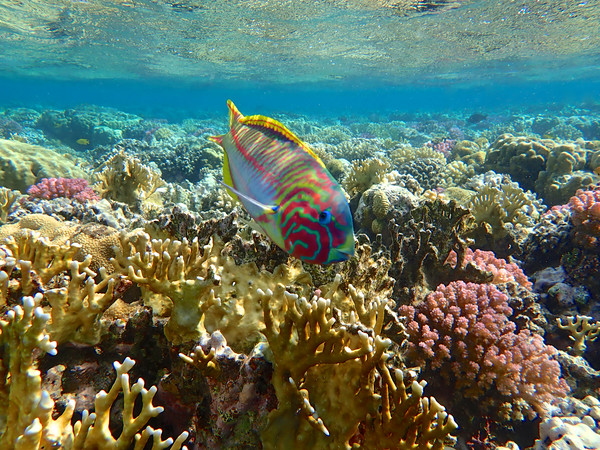 Rainbow Wrasse Red Sea Framed Print by mark humpage