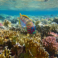 Buy canvas prints of Rainbow Wrasse Red Sea by mark humpage