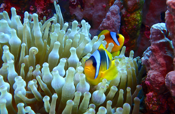 Red Sea Clown Fish Framed Print by mark humpage