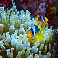 Buy canvas prints of Red Sea Clown Fish by mark humpage