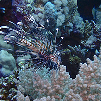 Buy canvas prints of Lion Fish with soft coral by mark humpage