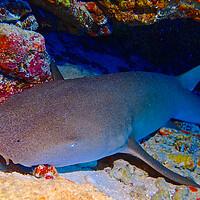 Buy canvas prints of Nurse shark sleeping in cave underwater in Maldives by mark humpage