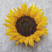 Buy canvas prints of Sunflower by Victoria Hendrick
