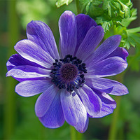 Buy canvas prints of Violet Blue Anemone by Bill Simpson