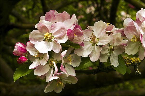Apple Blossom Canvas Print by Bill Simpson