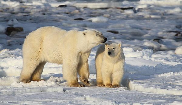 Polar Bear Mother & Cub Churchill Canada Canvas print by Carole-Anne Fooks