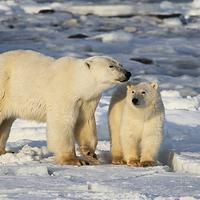 Buy canvas prints of Polar Bear Mother & Cub Churchill Canada by Carole-Anne Fooks