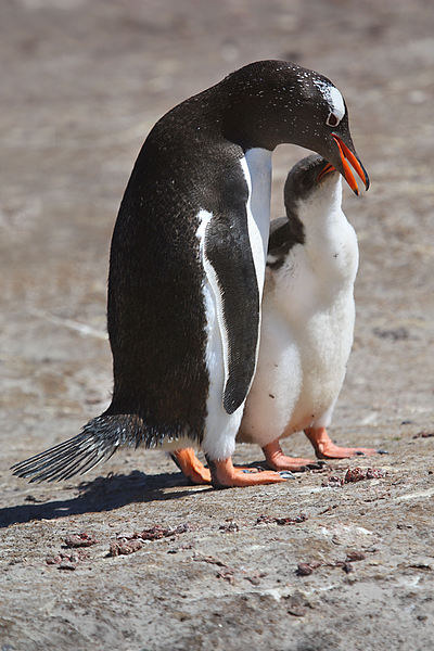 Gentoo Penguin Feeding Chick Canvas print by Carole-Anne Fooks