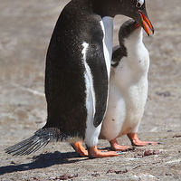 Buy canvas prints of Gentoo Penguin Feeding Chick by Carole-Anne Fooks