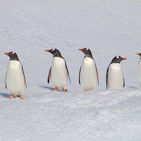 Buy canvas prints of Gentoo Penguins in Conference by Carole-Anne Fooks