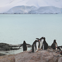 Buy canvas prints of Gentoo Penguin Rookery Antarctica by Carole-Anne Fooks